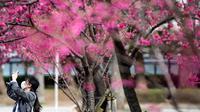 """Seorang wanita mengenakan masker melewati pohon sakura di taman Ueno, Tokyo, Jepang (12/3/2020).  Di tengah kekhawatiran akan penyebaran virus corona COVID-19, Gubernur Tokyo Yuriko Koike menghimbau warga menghindari kerumunan saat pesta tradisional """"hanami"""". (AFP/Philip Fong)"""