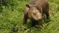 Tam, badak Sumatra jantan terakhir di Malaysia, mati dalam penangkaran. (Facebook: WWF Malaysia/Engelbert Dausip)