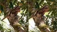 Burung Paruh Kodok (dok.instagram/@indoflashlight/https://www.instagram.com/p/COU2xrqjByH/?igshid=kxthts88cae9/Komarudin)