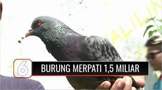 VIDEO: Viral, Burung Merpati Warga Pekalongan Terjual Rp1,5 Miliar, Kok Bisa?