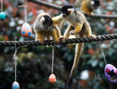 Monyet Tupai Berebut Telur Paskah