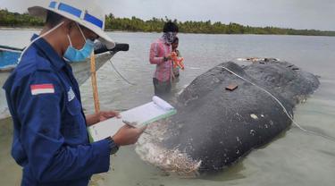 Foto tak bertanggal, peneliti mengumpulkan data bangkai paus sperma yang terdampar di perairan Wakatobi, Sulawesi Tenggara. Pada bangkai paus itu ditemukan 5,9 kg sampah, bahkan terdapat sandal jepit. (Muhammad Irpan Sejati Tassakka, AKKP Wakatobi via AP)