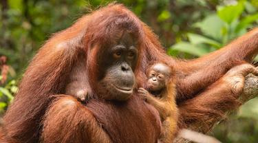 Imutnya Sinar, Bayi Orangutan Penghuni Terbaru Taman Nasional Gunung Palung