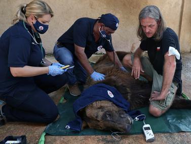 Penyelamatan Beruang Cokelat di Lebanon yang Dilanda Krisis