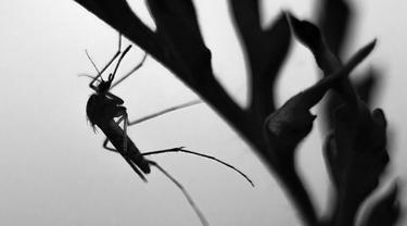 Ilustrasi nyamuk malaria
