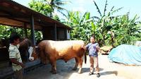 Sapi jenis limosin dengan bobot 1,3 ton di Gunungkidul, Yogyakarta. (Liputan6.com/Yanuar H)