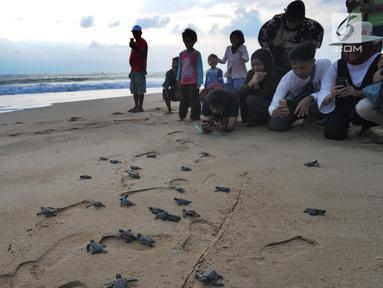Pengunjung menyaksikan pelepasan lebih dari 300 tukik (anak penyu) Hijau di Pantai Pangumbahan, Ujung Genteng,  Sukabumi, Jawa Barat (27/10). Kegiatan pelepasan tukik pada sore hari ini menjadi  daya tarik pengunjung. (Merdeka.com/Arie Basuki)