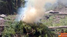 Citizen6, Aceh: sejumlah 15 ribu batang pohon ganja dimusnakan dengan cara dibakar di TKP. (Pengirim: Dadik Junaedi)