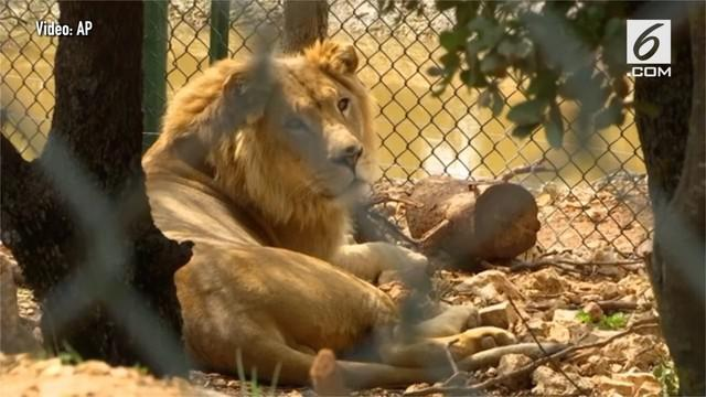 Setelah jalani pemulihan, dua ekor singa asal kebun binatang Mosul dipindahkan.