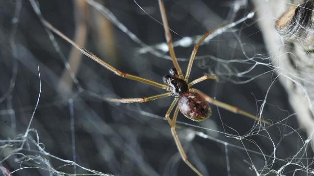 062150300 1498385017 widow spider