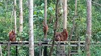 Feeding orangutan di Tanjung Harapan, Tanjung Puting, Kalimantan Tengah. (Liputan6.com/Dinny Mutiah)