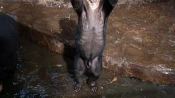 Beruang madu mengangkat tangannya seolah meminta makanan kepada pengunjung Kebun Binatang Bandung, Jawa Barat, Rabu (18/1). Saat berdiri dengan kedua kakinya ketika meminta makanan, tampak tulang iga beruang madu tercetak jelas. (TIMUR MATAHARI / AFP)