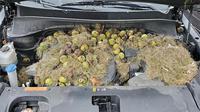 Ruang mesin mobil dipenuhi rumput dan kacang walnut. (Carscoops)