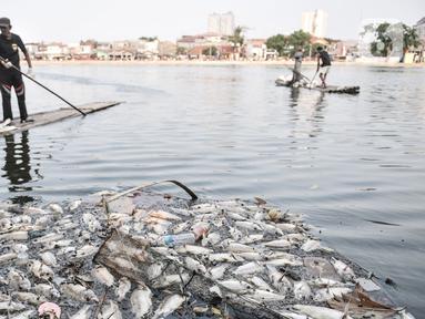 Warga menggunakan rakit saat mengumpulkan bangkai ikan Mujair di Situ Rawa Besar, Lio, Depok, Jawa Barat, Kamis (20/8/2020). Sejak dua hari terakhir ribuan ekor ikan Mujair mati dan memenuhi Situ Rawa Besar yang menurut warga setempat disebabkan oleh faktor cuaca. (merdeka.com/Iqbal S. Nugroho)