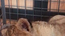 Seekor singa berada dalam kandang setelah setelah ditemukan di supercar Lamborghini di Champs-Elysees, Paris, Senin (12/11). Pengemudi Lamborghini langsung ditangkap polisi setelah bayi singa ditemukan di dalamnya. (HO/Fondation 30 Millions d'Amis/AFP)