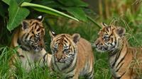 Tiga anak harimau sumatera untuk pertama kalinya dilepas ke kandang terbuka di Kebun Binatang Toranga, Sydney, Jumat (29/3/2019). Tiga ekor anak harimau sumatera yang lahir dari indukan bernama Kartika itu untuk pertama kalinya muncul ke publik Australia. (PETER PARKS / AFP)