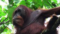 Kuta, orangutan Sumatera (Pongo abelii), dilepasliarkan ke habitat asli di kawasan Taman Nasional Gunung Leuser (TNGL), Sumut. (Liputan6.com/Reza Efendi)