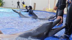Seorang pelatih memberi makan lumba-lumba saat pelatihan selama penutupan sementara untuk umum karena kekhawatiran akan infeksi virus Covid-19 di sebuah pusat konservasi di Bali, Selasa (28/4/2020). (AP Photo/Firdia Lisnawati)