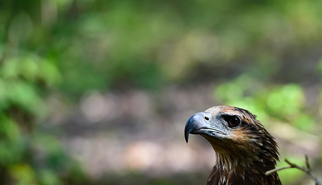 670+ Gambar Burung Elang Yang Dilindungi Terbaik