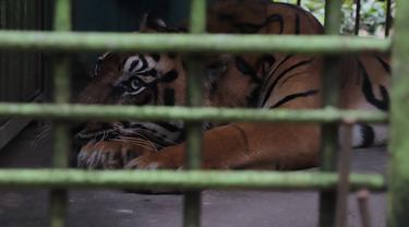 Harimau di Medan Zoo