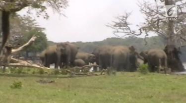 Hampir 300 ekor gajah mengelilingi pemimpinnya yang mati di Sri Lanka. Momen haru ini direkam oleh penduduk lokal di Anuradhapura.
