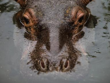 Fatima, seekor bayi kuda nil berumur dua setengah tahun beristirahat di sebuah kolam di Kebun Binatang Masaya, Nikaragua (6/9/2019). Fatima yang tiba minggu ini merupakan kuda nil pertama di kebun binatang nasional Nikaragua. (AFP Photo/Inti Ocon)