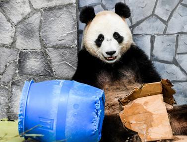 Tingkah Lucu Panda Raksasa di Kebun Binatang Moskow