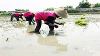 Petani padi di Kalimantan mengadopsi pertanian organik. (Harriansyah/FAOID)