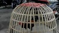 Polres Kebumen menggerebek arena judi sabung ayam di Surorejan Puring.