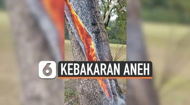 Fenomena yang terbilang aneh terjadi di Trinity, Texas. Sebuah pohon terbakar dari arah dalam akibat tersambar petir.