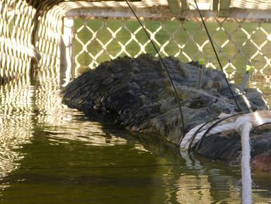 Seekor buaya air asin raksasa terjebak dalam perangkap di hilir sungai di Kota Katherine, Australia, Senin (9/7). Buaya seberat 600 kilogram dengan panjang 4,7 meter itu pertama kali terlihat pada 2010. (HO/NORTHERN TERRITORY PARKS AND WILDLIFE/AFP)