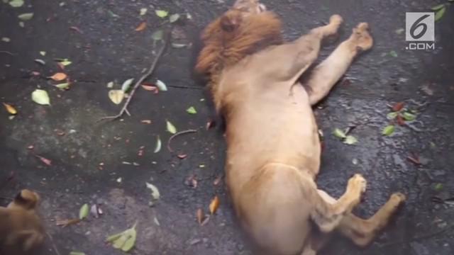 Seekor singa di kebun binatang Manila, Filipina mengaalami kejang. Insiden ini membuat para pengunjung kebun binatang terkejut.