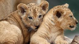Dua bayi singa berber (Panthera leo leo) beristirahat di kandang mereka di kebun binatang Dvur Kralove, Republik Ceko, Senin (8/7/2019). Bayi singa jantan dan betina yang belum mempunyai nama tersebut lahir pada 10 Mei lalu. (AP/Petr David Josek)