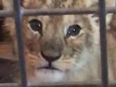 Gambar dari rekaman video menunjukkan seekor bayi singa berada dalam kandang setelah ditemukan di supercar Lamborghini di Champs-Elysees, Paris, Senin (12/11). Bayi singa itu ditemukan di dalam Lamborghini sewaan. (HO/Fondation 30 Millions d'Amis/AFP)