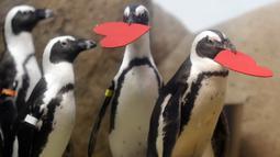 Kawanan penguin mendapat sarang berbentuk hati dari para ahli biologi di Akademi Ilmu Pengetahuan California yang terletak di San Francisco, Selasa (13/2). Kado itu sebagai bentuk perayaan hari Valentine atau kasih sayang. (AP Photo/Marcio Jose Sanchez)