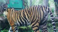 Harimau Sumatera. (Liputan6.com/M Syukur)