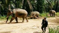 Balai Konservasi Sumber Daya Alam (BKSDA) Provinsi Aceh, berhasil melakukan translokasi terhadap seekor gajah yang terjebak di kawasan perkebunan kelapa sawit di Kota Subulussalam. (Liputan6.com/Rino Abonita)