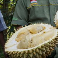 Durian montong di lereng Gunung Merapi di Musuk, Boyolali. Foto: (Fajar/Liputan6.com)