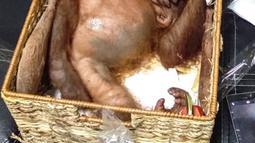 Anak orangutan terlelap di sebuah kotak rotan usai diselamatkan di Bandara Internasional Ngurah Rai, Bali (23/3). Anak orangutan ini dibius dengan cara diberikan tablet bius yang dicekoki melalui spuit dengan kerja obat selama 2 atau 3 jam. (AFP Photo/Badan Konservasi Sumber Daya Alam Bali)