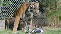 Seekor Harimau Sumatera, Sean bersama anaknya di dalam kandang Bali Zoo, Gianyar, Sabtu (28/7). Bali Zoo merayakan World Tiger Day dengan memperkenalkan secara ekslusif 3 bayi kembar Harimau Sumatera yang baru berusia tiga bulan. (AP/Firdia Lisnawati)