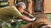 Drh. Anhar Lubis memeriksa kondisi Harimau Sumatera yang terluka akibat terjerat jebakan rusa yang dipasang oleh warga, Mandailing Natal, Sumut, Sabtu (28/11/2015). (Foto:Ori Kakigunung)