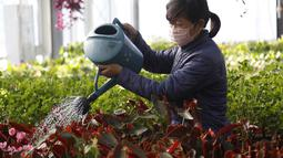 Peniliti wanita dari Pyongyang Floriculture Institute menyiram kaktus dan bunga di Pyongyang, Korea Utara, DPRK (14/12/2020). (AP Photo / Jon Chol Jin)