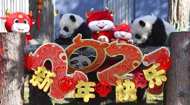 Bayi panda memanjat pajangan untuk Tahun Baru Imlek yang akan datang di Pusat Penelitian dan Konservasi China untuk Panda Raksasa di Cagar Alam Wolong, Provinsi Sichuan, China, 3 Februari 2021. Sepuluh bayi panda memulai debutnya menjelang Tahun Baru Imlek di Cagar Alam Wolong. (Chinatopix via AP)