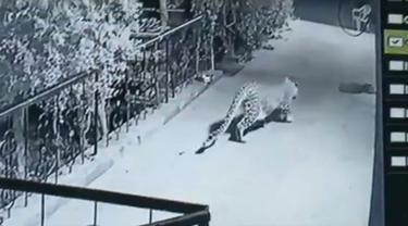 Macan tutul memburu anjing peliharaan