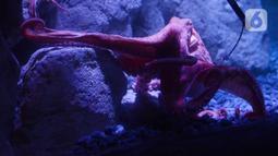 Giant Pacific Octopus saat dipamerkan di Jakarta Aquarium dan Safari, Jakarta, Rabu (27/1/2021). Gurita Raksasa Giant Pacific Octopus (Enteroctopus Dofleini) berasal dari perairan Pasifik Utara yang membentang dari California sampai ke Jepang dan Korea. (merdeka.com/Imam Buhori)
