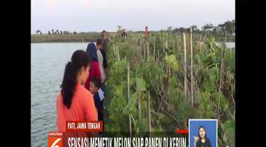 Kebun melon Cak Wung di Desa Dororejo, Pati, Jawa Tengah, bisa dijadikan tempat ngabuburit asyik untuk memetik buah melon.