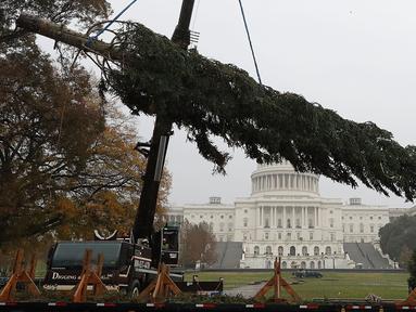 Pekerja menggunakan alat berat untuk menempatkan pohon Natal raksasa di bagian barat Gedung Capitol AS di Washington, Senin (26/11). Pohon Natal setinggi 24 meter itu diambil dari Hutan Nasional Willamette di Oregon. (Mark Wilson/Getty Images/AFP)
