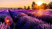 Ilustrasi lavender (Dok.Unsplash/ Léonard Cotte)