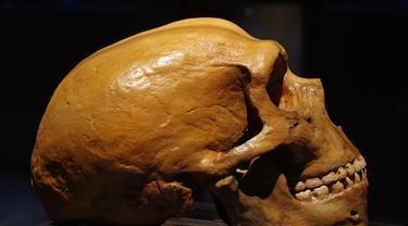 Tengkorak sub-spesies manusia purba Neanderthal. (iStockphoto)