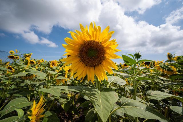 Pemandangan bunga matahari di taman bunga matahari di Bagan Datuk di negara bagian Perak Malaysia (17/3/2021). Taman ini menjanjikan panorama yang indah dihiasi lebih 2,000 pokok bunga matahari atau nama saintifiknya helianthus annuus. (AFP/Mohd Rasfan)